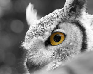 Owl by AngeloMichel