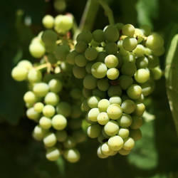 Grapes by AngeloMichel