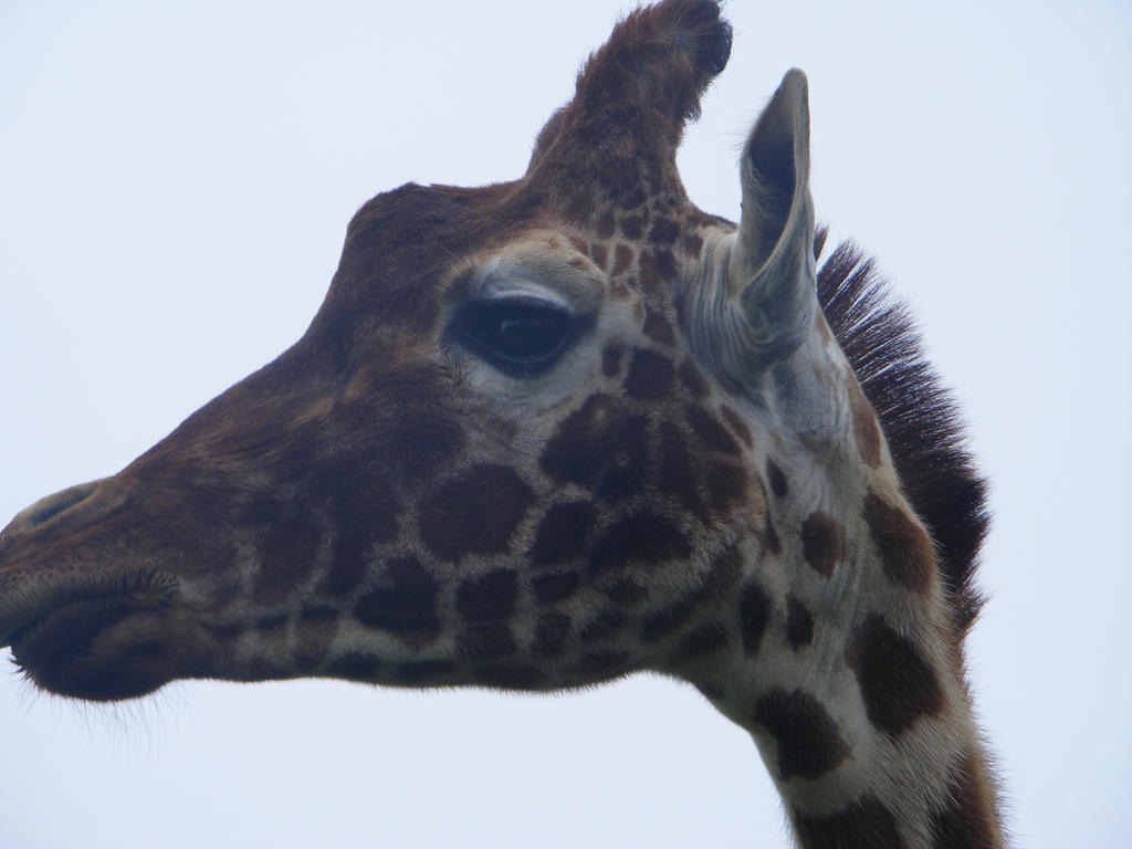 Giraffe Head in Profil...