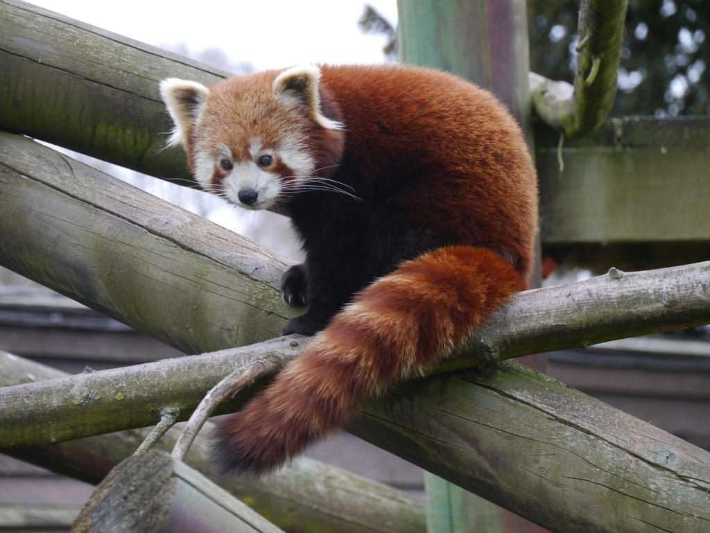 Red Panda by Party9999999 on DeviantArt