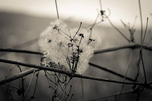 Fluffy Clematis Seeds