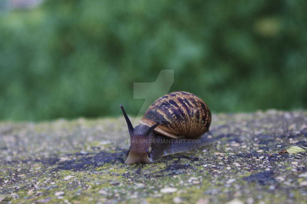 Snail by Natebalon
