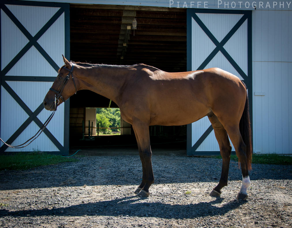 Buddy (Conformation) by EquusPhoto