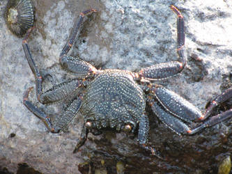 Blue Hawaii Crab by NaturalBornCamper