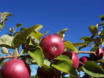 Apples by NaturalBornCamper