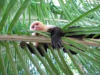 Capucin monkey by NaturalBornCamper