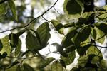 Leafy Sun by Grumzz