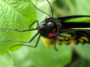Butterfly 2.1
