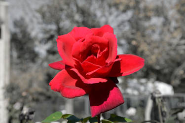 Red Red Rose by BeverlyMichelle