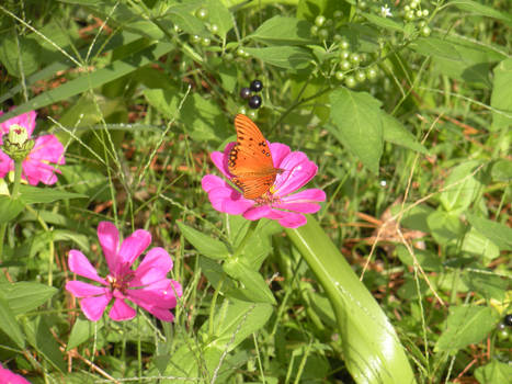 Butterfly and Zinnia 0629