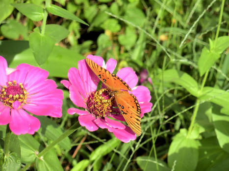 Butterfly and  Zinnia 0634