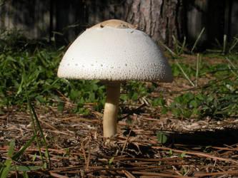 Mushroom 0659