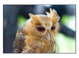 owl by blacksheepwall