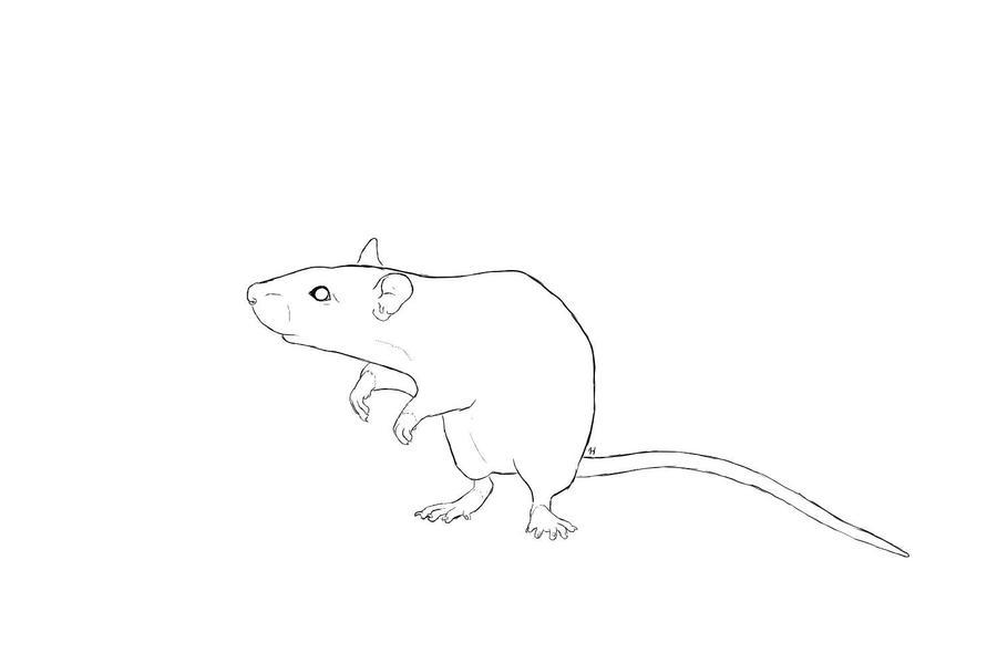 Line Art Rat : Free rat lineart by hawksfin on deviantart
