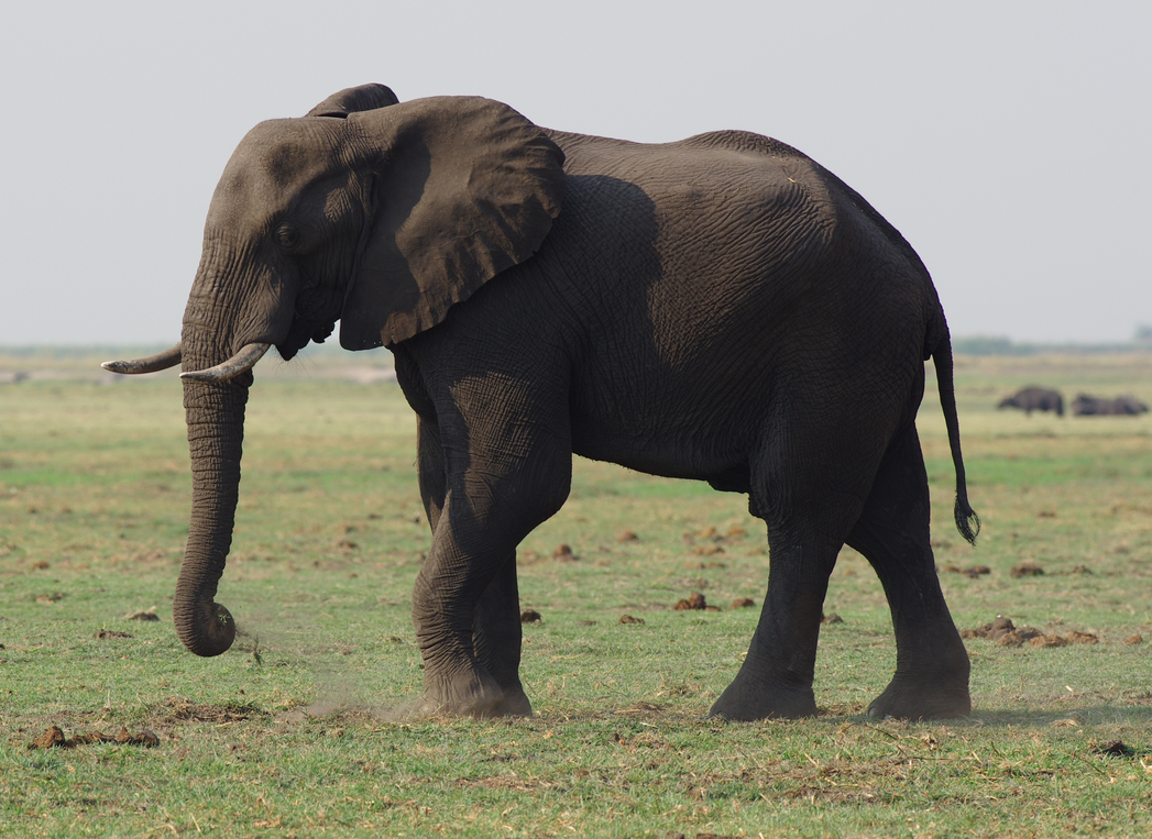 Chobe Elephant by vt102