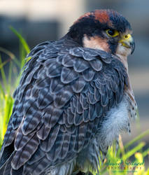 Lanner Falcon by Recalibration