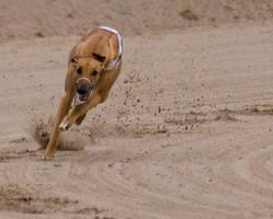 Greyhound racing by msun
