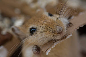 rodent gerbil by msun