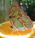 Butterfly on orange