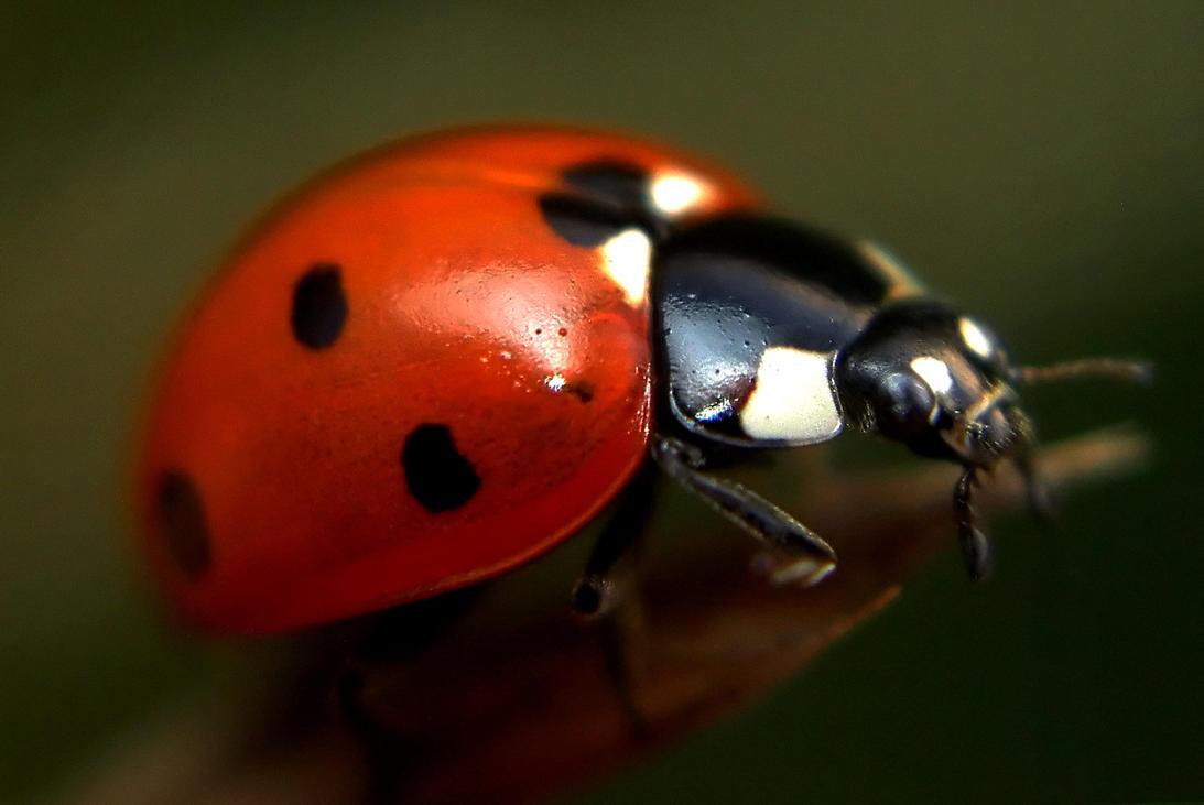 Ladybug by alennzg