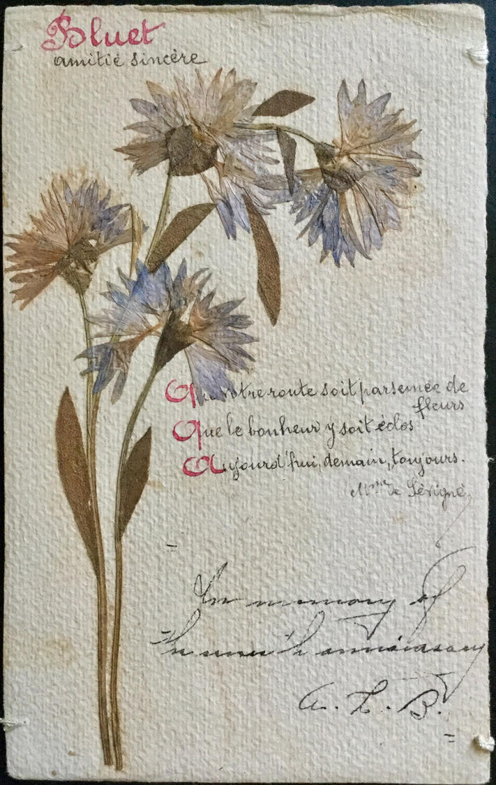 Pressed Flower Postcard Mountain Bluet By Yesterdays Paper On