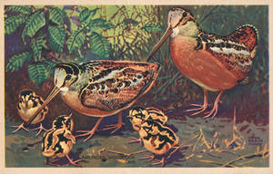 American Woodcock Family by Yesterdays-Paper