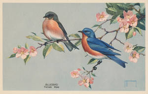 Eastern Bluebird by Yesterdays-Paper