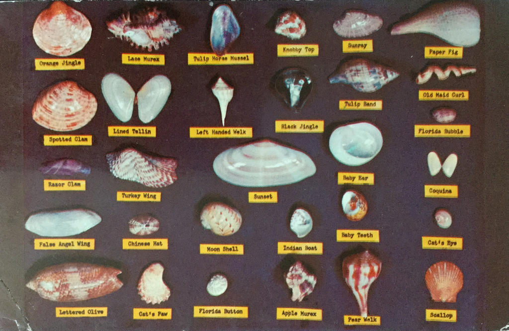 482663bda3 Vintage Florida - Shell Chart by Yesterdays-Paper on DeviantArt