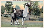 Vintage Washington D.C. - Llama Mama and Cria