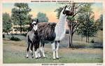 Vintage Washington D.C. - Llama Mama and Cria