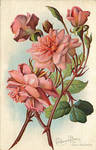 California Wild Flowers - Californian Roses