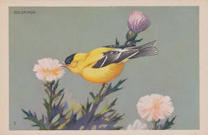Goldfinch by Yesterdays-Paper