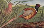 Ring-necked Pheasant Couple