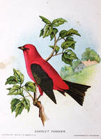 New England Birds - Scarlet Tanager by Yesterdays-Paper