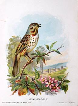 New England Birds - Song Sparrow