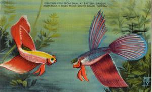 Vintage Florida - Siamese Fighting Fish