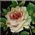 Vintage Blush Rose Icon