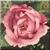 Vintage Pink Rose Icon