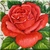 Vintage Red Rose Icon