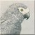 Grey Parrot Icon - Right by Yesterdays-Paper