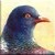 Pigeon Icon - Right