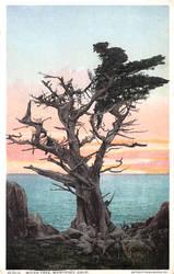 Vintage California - The Witch Tree, Monterey