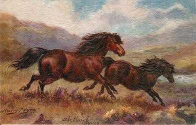 Shetland Ponies in Gallop