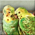 Love Budgies Icon