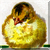 Vintage Baby Chick icon