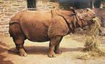 Vintage Philadelphia - Rhinoceros, Philly Zoo by Yesterdays-Paper