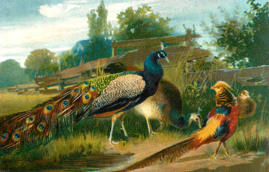 Peacock and Golden Pheasant by Yesterdays-Paper