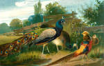 Peacock and Golden Pheasant