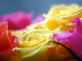 Roses by KonikPolski