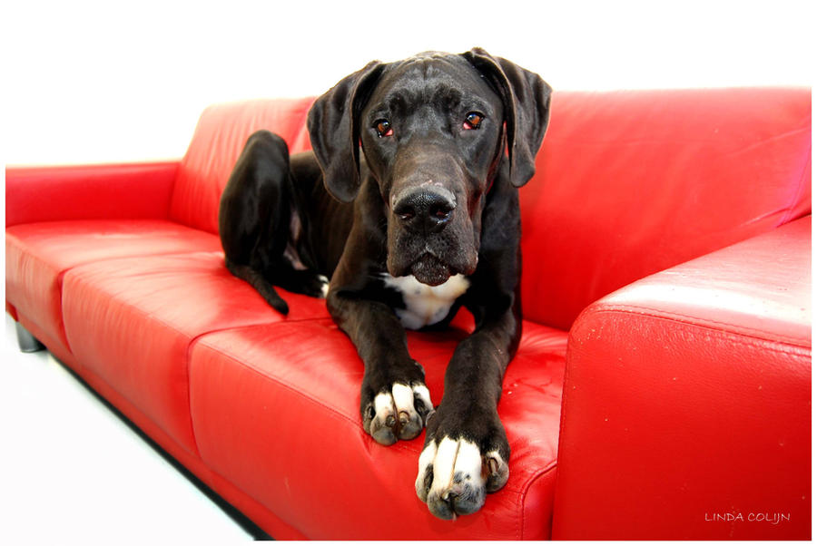 Great Dane Dog Wallpapers: Great Couch Great Dane By KonikPolski On DeviantArt